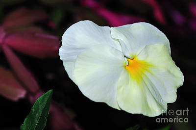 Genus Photograph - White Pansy On Red by Kaye Menner
