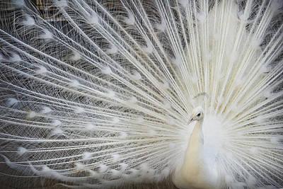 White Peacock Photograph - White Peacock by Aliraza Khatri's Photography