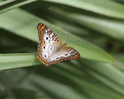 Photograph - White Peacock Butterfly. by Chris  Kusik