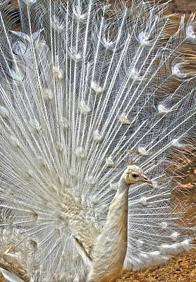 Photograph - White Peacock by Steve McKinzie