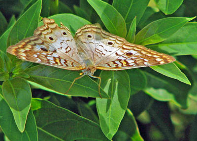 Photograph - White Peacock by T Guy Spencer