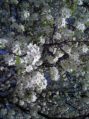 Photograph - White Pear Tree Blossoms by Barbara Plattenburg