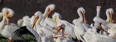 Cabin Window Photograph - White Pelican Gossip by Robert Frederick