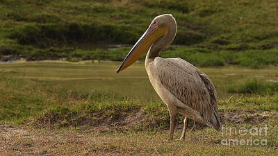 Photograph - White Pelican by Mareko Marciniak