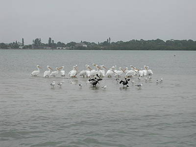 Photograph - White Pelicans Rule by Nancy Taylor