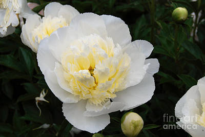 Digital Art - White Peony Flowers Series 1 by Eva Kaufman