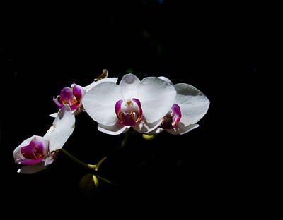 Photograph - White Phalaenopsis by Chua  ChinLeng