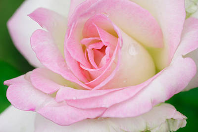 White-pink Rose Original