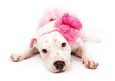 White Pit Bull Dog Wearing Pink  Art Print