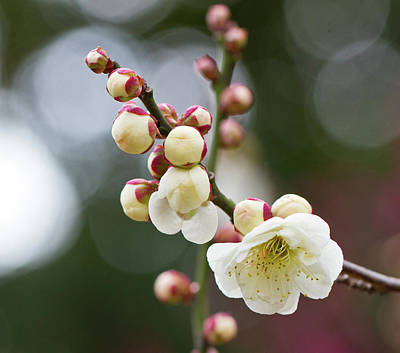 White Plum Blossoms Art Print