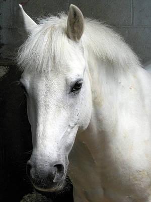 White Pony Art Print by Sally Crossthwaite