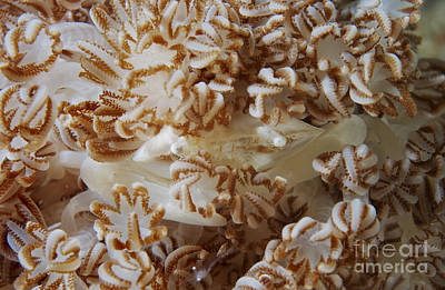 Porcelain Crabs Photograph - White Porcelain Crab In Beige Soft by Mathieu Meur