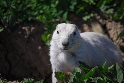 Photograph - White Prairie Dog by Judy Hall-Folde