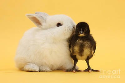 Photograph - White Rabbit And Bantam Chick On Yellow by Mark Taylor