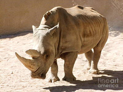 Phoenix Zoo Photograph - White Rhino by Mary Deal