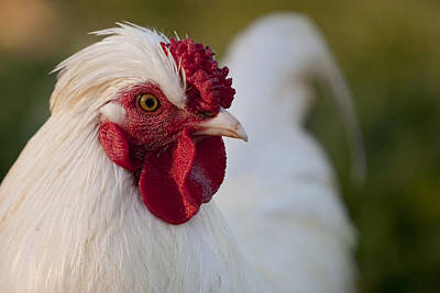 Chicken Photograph - White Rooster by Michelle Wrighton