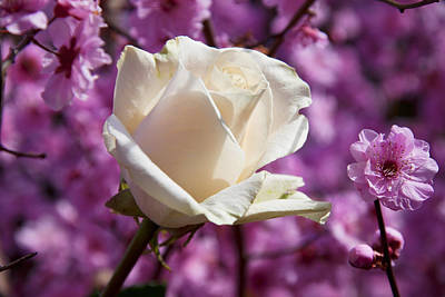 Photograph - White Rose And Plum Blossoms by Garry Gay