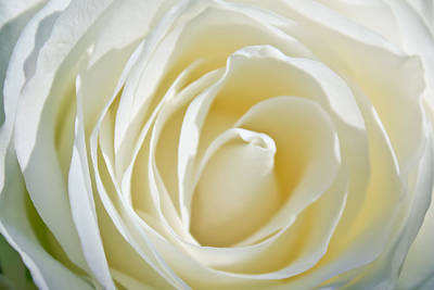 Photograph - White Rose by Ann Murphy