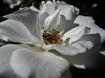 Photograph - White Rose  by Daniele Smith