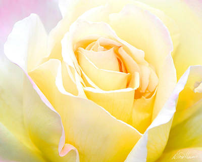 Photograph - White Rose by Diana Haronis