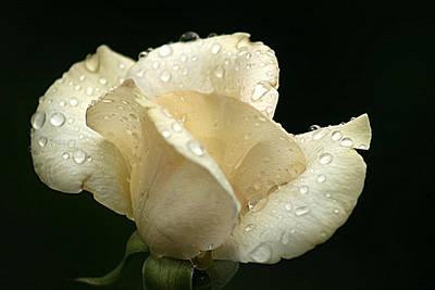 Photograph - White Rose  by Emanuel Tanjala