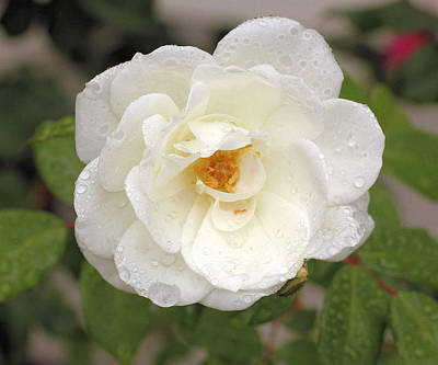 White Rose Art Print by Judith Szantyr