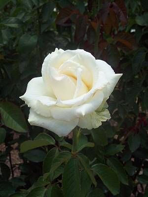 Lisa Williams Photograph - White Rose by Lisa Williams