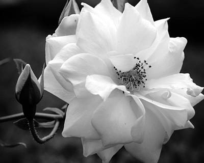 Photograph - White Rose by Michelle Joseph-Long