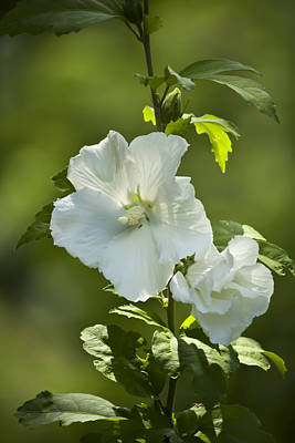 Althea Photograph - White Rose Of Sharon by Teresa Mucha
