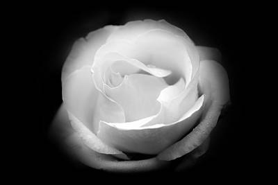 Photograph - White Rose Petals - II by Anthony Rego