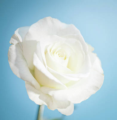 Single Rose Stem Photograph - White Rose by Peter Chadwick LRPS