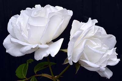 White Rose Twins. Original by Terence Davis