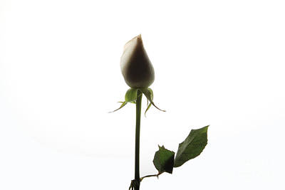 White Rose With Shadow Art Print by Zafer GUDER
