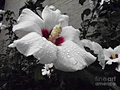 Photograph - White Rosemallows  by Sarah Loft