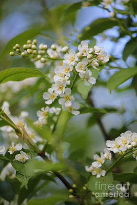 Photograph - White Saskatoon Blossoms by Donna L Munro