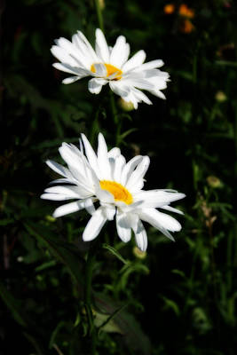 Photograph - White Shasta Daisies by Kay Novy