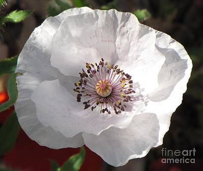 Photograph - White Shirley Poppy by Michele Penner