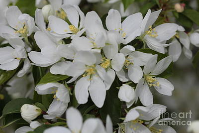 Photograph - White Spring Blooms by Donna Munro