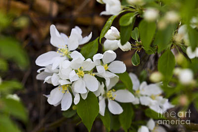 Photograph - White Spring Blossoms by Donna Munro