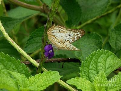 Butterfly In Motion Photograph - White Striped Butterfly by William Patterson