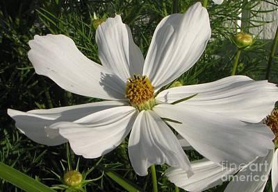 Photograph - White Summer Splendor  by Judyann Matthews