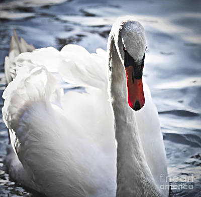 Birds Rights Managed Images - White swan Royalty-Free Image by Elena Elisseeva