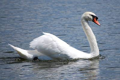 White Swan On A Lake Art Print by Carrie Munoz