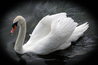 Photograph - White Swan by Rod Jones