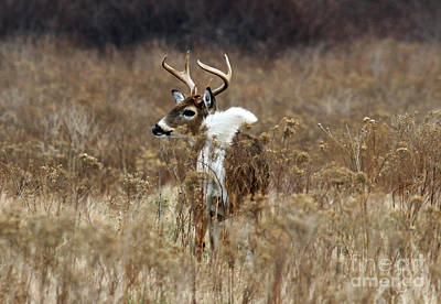 Photograph - White Tail by Butch Lombardi