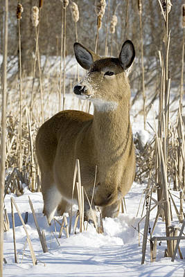 Cornfield Photograph - White-tailed Deer In A Snow-covered by Philippe Henry
