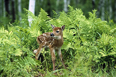 Whitetail Fawn Photograph - White-tailed Deer Odocoileus by Konrad Wothe