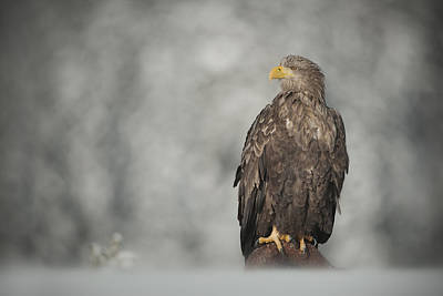 White-tailed Eagle Art Print by Andy Astbury