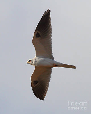 Photograph - White-tailed Kite Hawk In Flight . 7d10989 by Wingsdomain Art and Photography