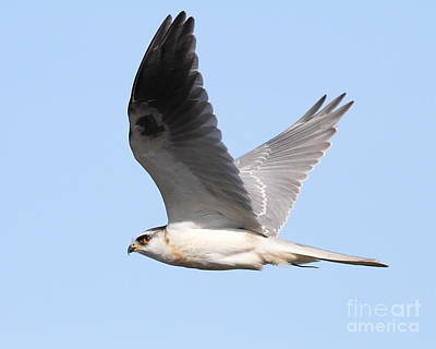 Photograph - White-tailed Kite Hawk In Flight . 7d11109 by Wingsdomain Art and Photography